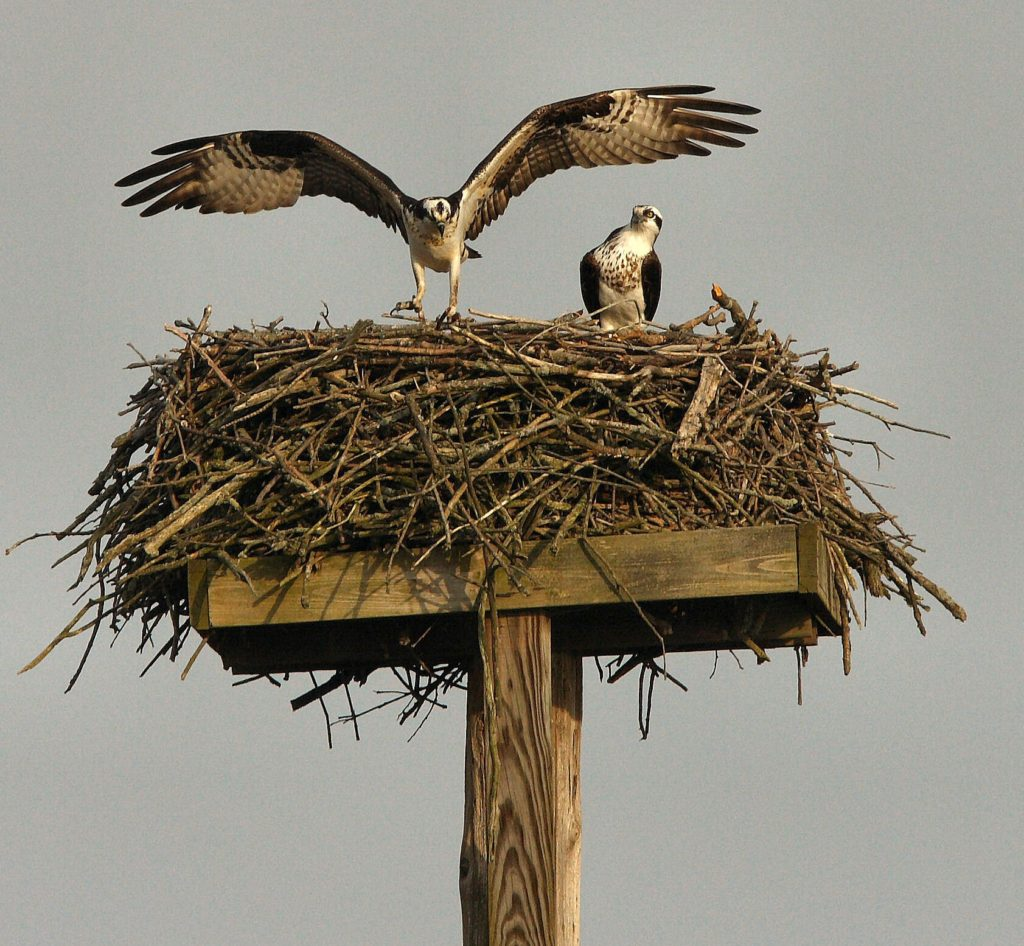 An osprey leaves its large nest, its wings spread wide while another osprey looks on.