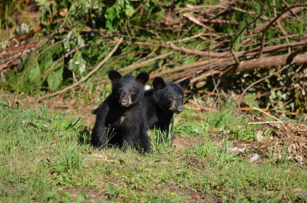 Two black baby bears sit in a grassy patch.