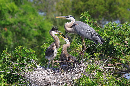 Great Blue Heron feeding two of her young in a giant nest of twigs and branches.