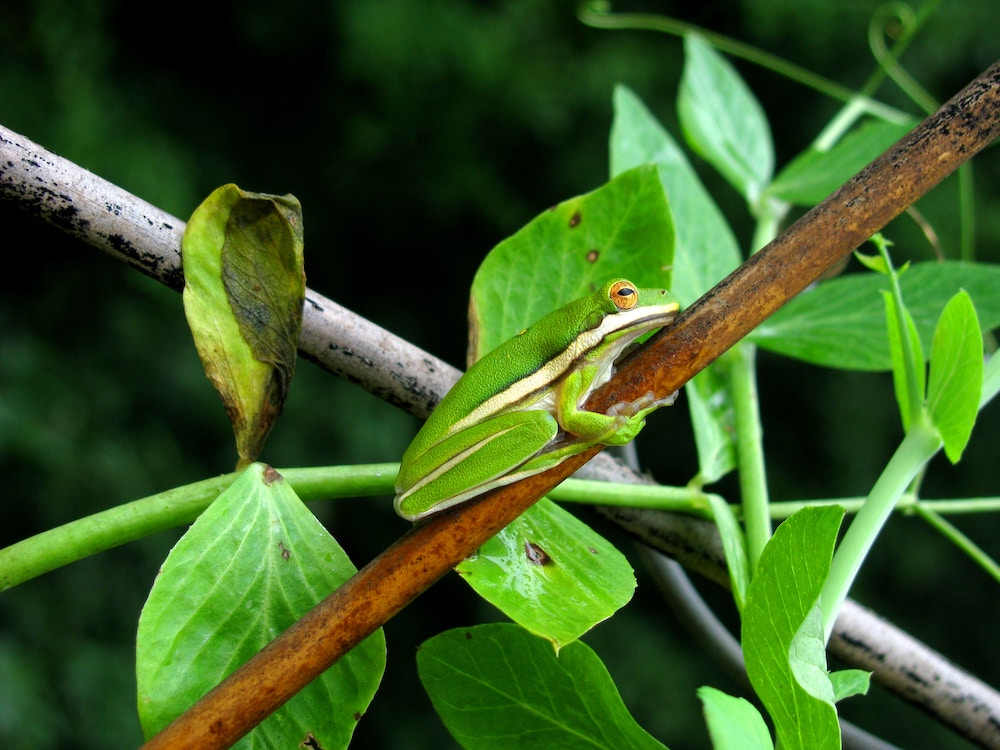 Green tree frog clicks to a branch.