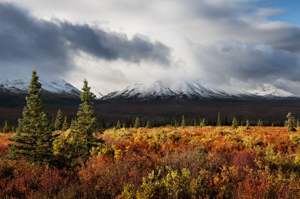 A colorful foreground of mixed autumn hues with snowy Denali in the background.